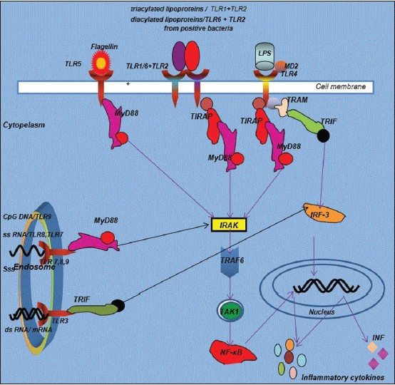 Figure 1: TLRs signaling pathway