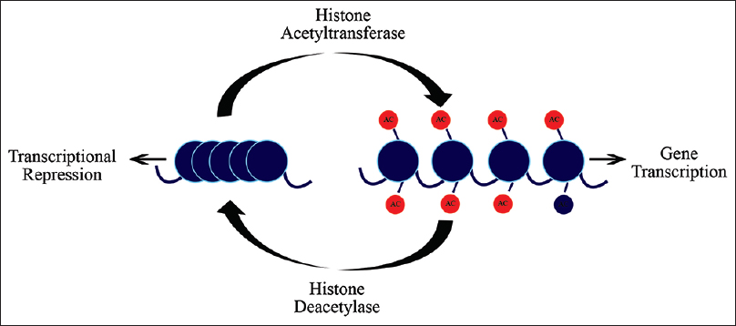Figure 3: Histone acetylation converts chromatin to an open state, it is regulated by the histone acetyltransferase (HAC). Histone deacetylation is regulated by the histone deacetylase which converts chromatin structure to a condensed or transcriptionally repressive state