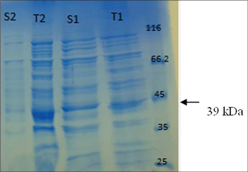 Figure 3: Sodium dodecyl sulfate–polyacrylamide gel electrophoresis analysis of soluble (s) and total (t) fractions after cell disruption using optimum lysis buffer (1) and control lysis buffer (2). The arrow indicates reteplase
