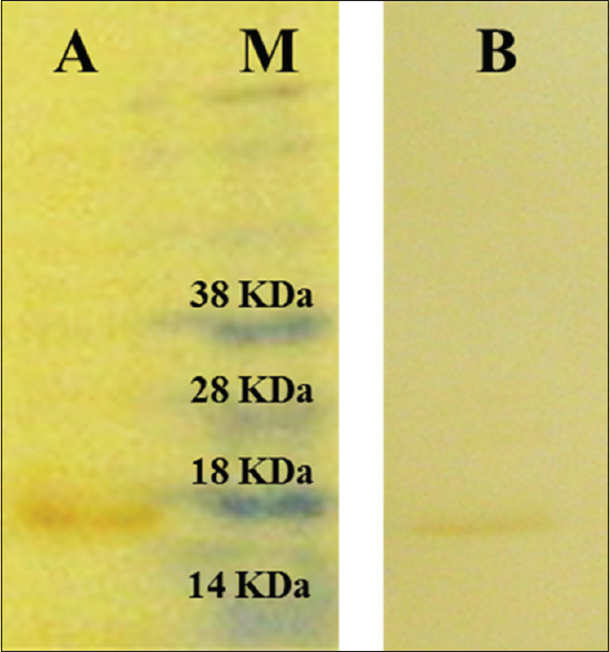 Figure 4: Western blot analysis with anti-His antibody: granulocytemacrophage colony-stimulating factor expressed in <i>Escherichia coli</i> BL21(DE3) containing pET22b-granulocyte-macrophage colony-stimulating factor plasmid (lane A) and in <i>Escherichia coli</i> BL21(DE3) containing pET28a-GM-CSF plasmid (lane B)